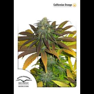 Californian Orange Feminised Seeds