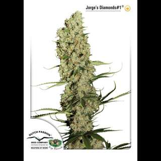 Jorges Diamond Feminised Seeds