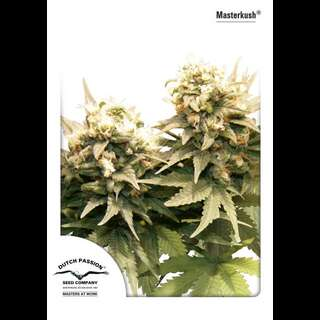 Master Kush - Dutch Passion