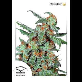Orange Bud - Dutch Passion