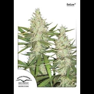 Outlaw Feminised Seeds