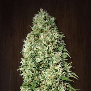 Orient Express Feminised Seeds