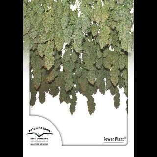 Power Plant Feminisierte Samen 10 Seeds