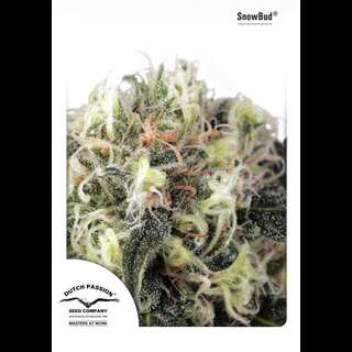 Snow Bud - Dutch Passion