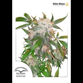 White Widow - Dutch Passion Feminised Seeds