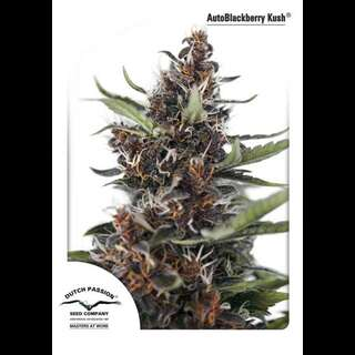 Auto Blackberry Kush Feminised Seeds 7 Seeds