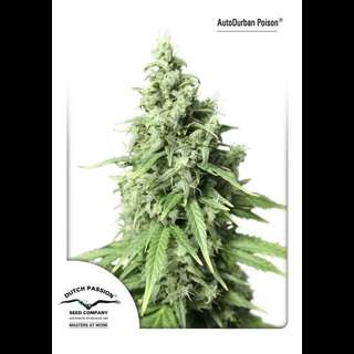 Auto Durban Poison Feminised Seeds
