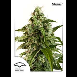 Auto Euforia Feminised Seeds