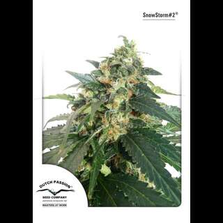 Auto Snowstorm #2 Feminised Seeds
