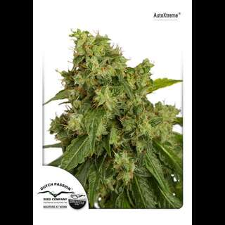 Auto Xtreme Feminised Seeds