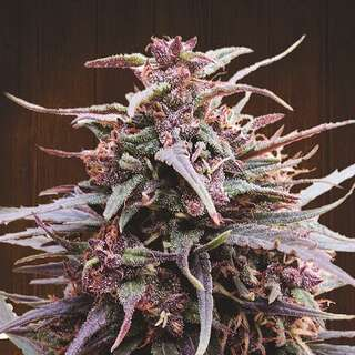 Purple Haze x Malawi Feminised Seeds