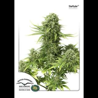 Auto StarRyder Feminised Seeds