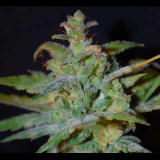 Auto AK Feminised Seeds Female Seeds