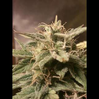 Auto Bubble Feminised Seeds