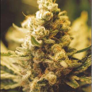 Lemon Kush Feminised Seeds