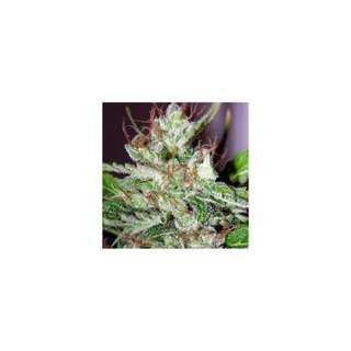 Eldorado Feminised Seeds - 5 Seeds