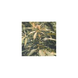 Hawaii Maui Waui - Nirvana Seeds - 5 Samen