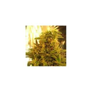 Haze #13 Feminised Seeds - 5 Seeds