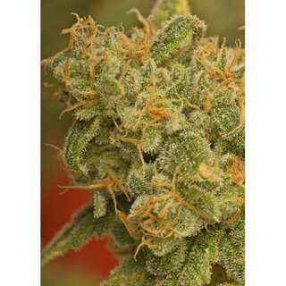 Kaya Gold Feminised Seeds - 5 Seeds