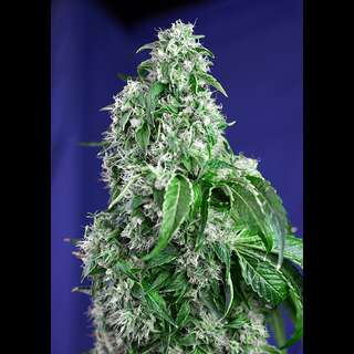 Big Devil FAST Version Feminised Seeds