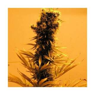 Raspberry Cough - Nirvana Seeds - 5 Samen