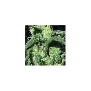 Sterling Haze - Nirvana Seeds - 5 Samen