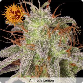 Amnesia Lemon - Barneys Farm