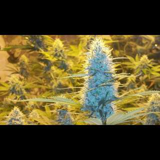White Widow - Nirvana Seeds - 5 Samen
