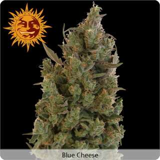 Blue Cheese - Barneys Farm