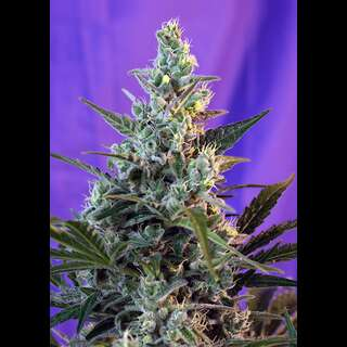 Sweet Skunk FAST Version Feminisierte Samen 3 Seeds