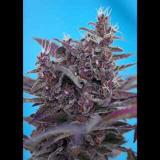 Black Cream Auto Feminised Seeds 3 Seeds