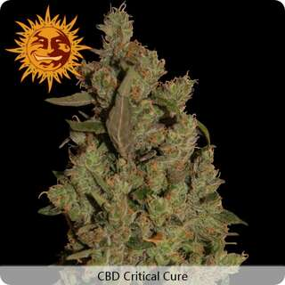 CBD Critical Cure - Barneys Farm