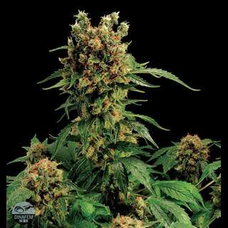 California Hash Plant Feminised Seeds