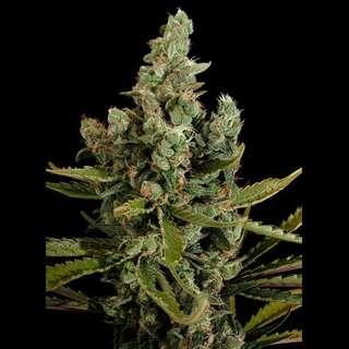 Cheese Feminised Seeds Dinafem