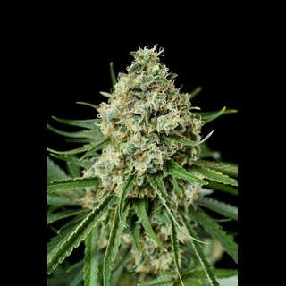 Critical + 2.0 Feminised Seeds