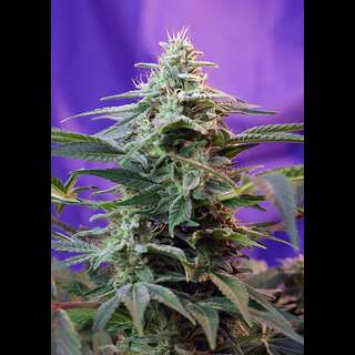 Sweet Special Auto Feminised Seeds