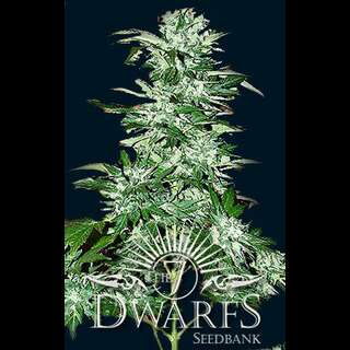 Cyclops Auto-flowering Feminised Seeds- 5 Seeds