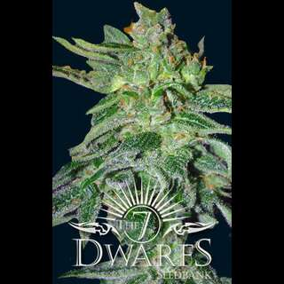 Gigantes Auto-flowering Feminised Seeds - 5 Seeds