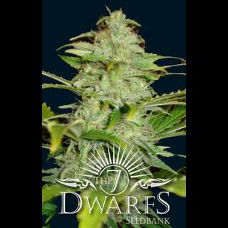 Titan Auto-flowering Feminised Seeds - 5 Seeds