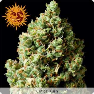 Critical Kush - Barneys Farm