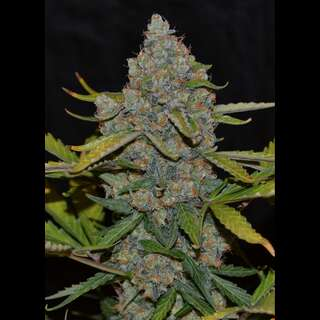 Auto CBG Feminised Seeds