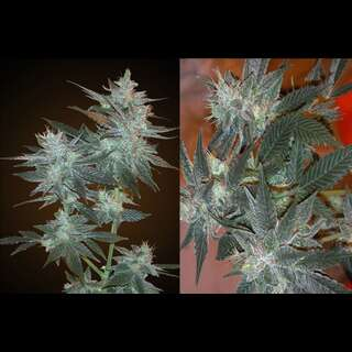 L.A. Ultra - Resin Seeds
