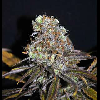 CBD Critical Mass Feminised - 5 Seeds