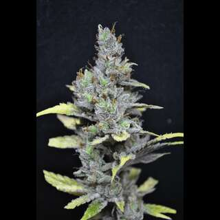 CBD Medi Haze Feminised Seeds - 5 Seeds