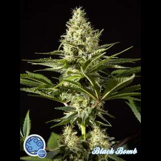 Black Bomb - Philosopher Seeds