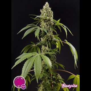 Guayita Feminised Seeds