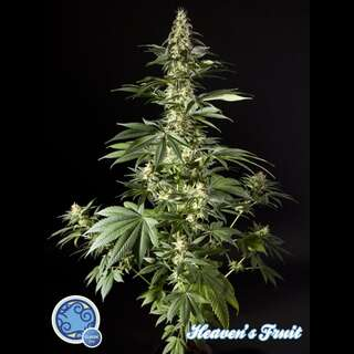 Heavens Fruit Feminised Seeds