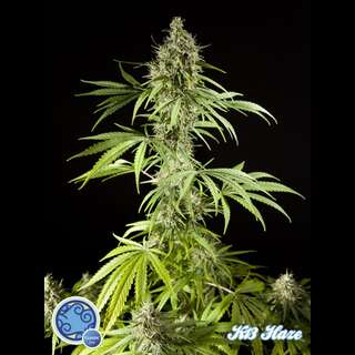 K-13 Haze Feminised Seeds