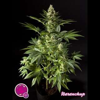 Naranchup - Philosopher Seeds